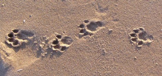otter prints on beach